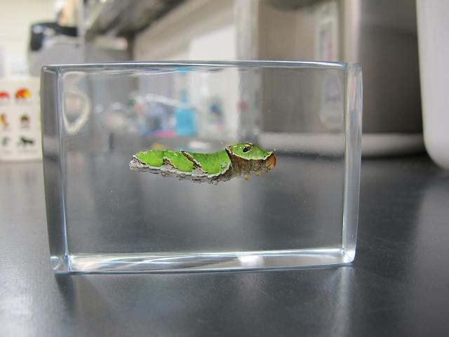 ガラスコーティング施工例 昆虫の標本 シロスジアゲハ